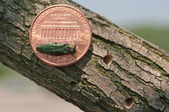 Emerald Ash Borer on a penny on a tree limb